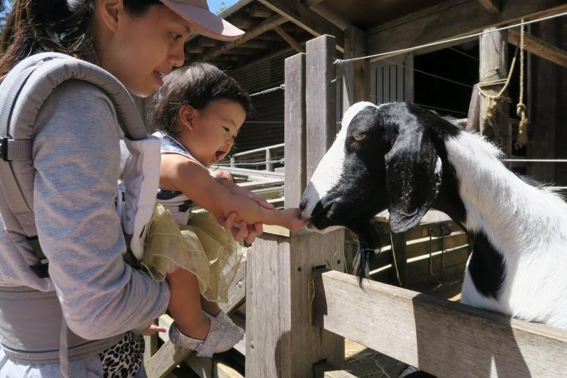 Teased goat.